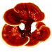 Vedelkultuur 5ml klaasampullis, Ganoderma lucidum